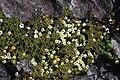 Diapensia lapponica and Geum calthifolium var. nipponicum.jpg