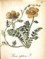 Die Alpenpflanzen nach der Natur gemalt (Plate 29) (7163627859).jpg