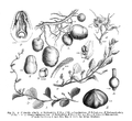 Die naturlichen Pflanzenfamilien-Basella.png