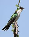 Diederik cuckoo, Chrysococcyx caprius, at Mapungubwe National Park, Limpopo, South Africa - male (29421659894).jpg