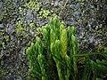Diphasiastrum alpinum strobili (10).jpg