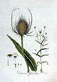 Dipsacus sylvestris — Flora Batava — Volume v3.jpg