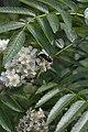 Ditylus laevis (Oedemeridae) dining on flowers of Sorbus sibirica (Rosaceae) (35614370992).jpg