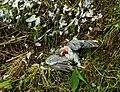 Door sperwer (Accipiter nisus) gedode houtduif (Columba palumbus). Locatie, Natuurterrein De Famberhorst 08.jpg
