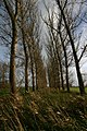 Double row of poplars - geograph.org.uk - 289484.jpg
