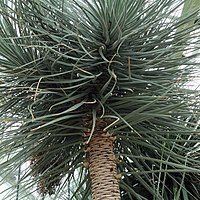 D. ombet ssp. schizantha