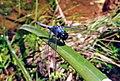 Dragonfly 12.jpg