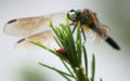Dragonfly ran-332.jpg