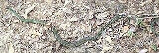 genus of reptiles