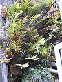 Drynaria quercifolia-2-aberdeen bazar-andaman-India.jpg