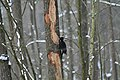 Dryocopus martius in the Teufelsbruch 2021-02-10 14.jpg