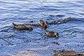 Duck and Ducklings IMG 8442 (44200796741).jpg