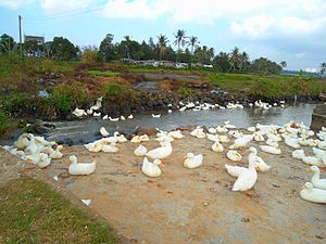 Free range - Free range ducks in Hainan Province, China
