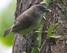 Dusky White-eye Zosterops finschii photographed in Palau in 2013 by Devon Pike.jpg