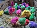 Dyed chicks in Pasty Market 04.jpg
