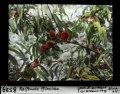 ETH-BIB-Reifende Pfirsiche-Dia 247-08529.tif