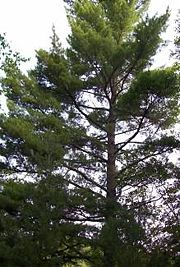 Eastern White Pine in Arrowhead Provincial Park along Big East River