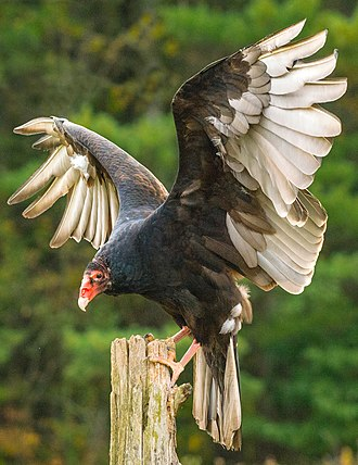 Turkey vulture - Turkey Vulture C. a. septentrionalis (Canada)