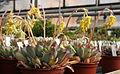 Echeveria pulidonis 8.jpg