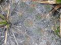 Echinocereus stramineus (5686345703).jpg