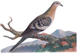 English: Passenger Pigeon, Ectopistes migrator...