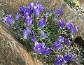 Edraianthus montenegrinus.jpg
