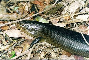 Watagans National Park - Land Mullet at Watagans National Park