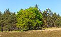 Eik (Quercus) op verruigd heideveld. Locatie, Kroondomein Het Loo.jpg