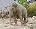 Elefante asiático (Elephas maximus), Tierpark Hellabrunn, Múnich, Alemania, 2012-06-17, DD 02.JPG