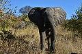 Elephant, Ruaha National Park (12) (28650254291).jpg