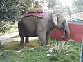 Elephant Calf at Kathmandu.jpg