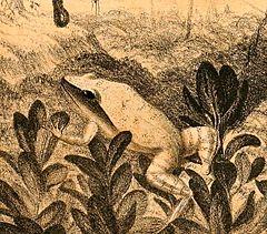 240px eleutherodactylus luteolus 1888