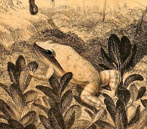 500px eleutherodactylus luteolus 1888