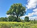 Elm Tree in Brattle Brook Park, Pittsfield, MA - August 2020.jpg