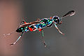 Emerald Cockroach Wasp.JPG