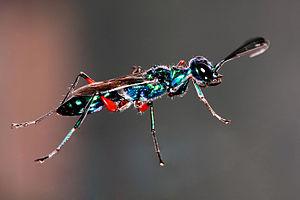 Apoidea - Image: Emerald Cockroach Wasp