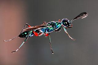 Emerald cockroach wasp species of wasp