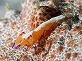 Emperor shrimp (Periclimenes imperator) (45828890741).jpg