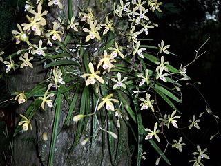 <i>Encyclia tampensis</i> species of plant