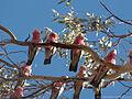 Eolophus roseicapilla -Australia -several-8.jpg