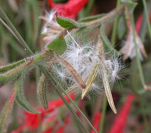 Epilobium - Ripe capsule of Epilobium canum (zauschneria) releasing seed