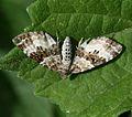 Epirrhoe alternata (Common carpet) - Flickr - S. Rae.jpg