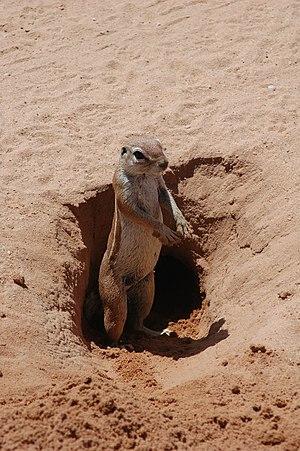Fossorial - Cape ground squirrel.