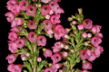 Erica elimensis 1DS-II 3-5739-01.png