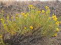 Ericameria nauseosa or Chrysothamnus nauseosus graveolens (4004889242).jpg