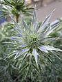 Eryngium bourgatii 'Picos Amethyst' (3660437928).jpg