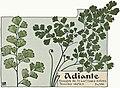 Etude de la plante - p.174 fig.226 - Cheveux de Vénus.jpg