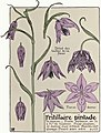 Etude de la plante - p.243 fig.293 - Fritillaire pintade.jpg
