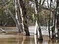 Eucalyptus camaldulensis (Murrumbidgee in flood) E29088496793 2a35679154 o.jpg