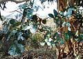 Eucalyptus cordata, juvenile leaves.jpg